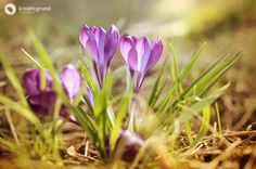 Pair of crocuses in spring #flowers #nature