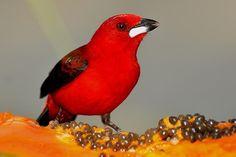 Tiê-sangue (Ramphocelus bresilius) é ave-símbolo da Mata Atlântica e tem canto melodioso (Rudimar Narciso Cipriani) (Foto: Rudimar Narciso Cipriani)