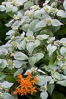 Silver gray leaf perennial wildflower Pycnanthemum muticum, Short Toothed Mountain Mint (aka clustered mountainmint) flowering in Pennsylvania native plant garden with butterfly weed