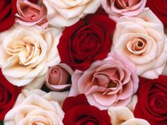 Fragrant Roses Wide Wallpapers,Flowers Wallpapers & Pictures Free Download