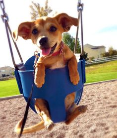 The Chiweenie is a mix of the Chihuahua and the Dachshund. This small dog likes people, but it can be stubborn. It has a high energy level and loves to play. #PawNation #Dogs