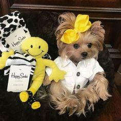 Training Your Yorkshire Terrier Dogs. Yorky Terrier, Yorshire Terrier, Bull Terriers, Yorkies, Cute Puppies, Cute Dogs, Corgi Puppies, Top Dog Breeds, Lap Dogs