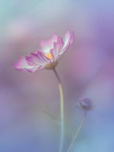 memories - cosmos, by Miyako Koumura. Cosmos Flowers, Exotic Flowers, Small Flowers, Pretty Flowers, Flower Backgrounds, Flower Wallpaper, Flowers For Algernon, Flora Und Fauna, The Joy Of Painting