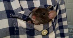 this is just what cory does with our rats. Funny Rats, Cute Rats, Cute Hamsters, Sugar Mice, Cute Pictures, Cool Photos, Pocket Pet, Cute Mouse, Mammals