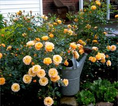 Flower Carpet Amber is one of the first Flower Carpet varieties to bloom each year.