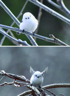 THE CUTEST BIRD IN THE WORLD (The Japanese Long Tailed Tit)