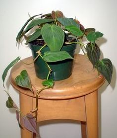 How to Grow Philodendron Plants