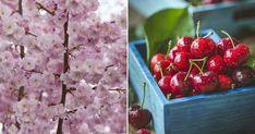 Cómo plantar un cerezo: ¡os lo cuenta nuestro experto!
