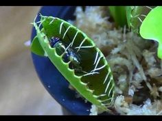▶ Venus Fly Trap Care - YouTube