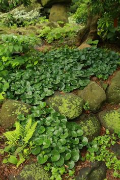 Love this ground cover combo. Moss, Ferns, Asarum europaeum (European Wild Ginger)