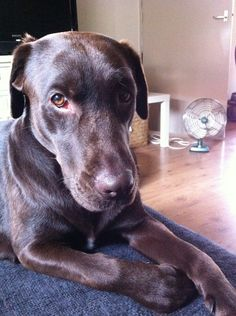 My dog Yindii. Chocolate Lab <3