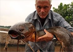 An African lungfish. The largest specimens can reach about 6.6 feet in length.