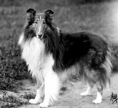 The Shetland Sheepdog originated in the and its ancestors were from Scotland, which worked as herding dogs. These early dogs were fairly Welsh Sheepdog, Shetland Sheepdog Puppies, Rough Collie, Collie Dog, Scotch Collie, English Shepherd, Herding Dogs, Schaefer, Kittens And Puppies