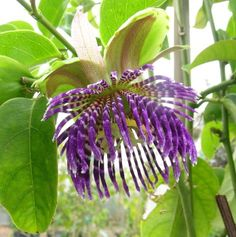 Passiflora laurifolia, wow, we underestimate the wow factor in flowers I think....especially seeing them in person...: D