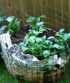 Grow potatoes in small spaces using this wire bin system.