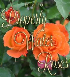 Learn the tips and trick of watering your roses for maximum blooms in this helpful care article.