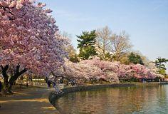 Sakura : les cerisiers en fleurs du Japon (o)Hanami, la tradition du début de…