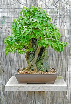Trident Maple Bonsai Tree, Root Over Rock Style in a Commercial Bonsai Nursery by Steve Greaves