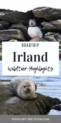 Find out which wild animals are waiting for you in Ireland and at what time of year you have the best chance of seeing them! Ireland Road Trip I Ireland Tour I Ireland Travel Tips I Ireland Travel I Ireland Vacation I Ireland Sightseeing I Ireland Ireland Vacation, Ireland Travel, Galway Ireland, Cork Ireland, Cliffs Of Moher Ireland, Road Trip Europe, Reisen In Europa, Roadtrip, Nightlife Travel