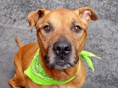 Manhattan Center    HAVANA - A1002509    SPAYED FEMALE, BROWN / WHITE, PIT BULL MIX, 5 yrs  SEIZED - ONHOLDHERE, HOLD FOR ID  Reason ABANDON   Intake condition NONE Intake Date 06/08/2014, From NY 10456, DueOut Date 06/15/2014,   https://www.facebook.com/photo.php?fbid=818411621505052set=a.617938651552351.1073741868.152876678058553type=3permPage=1