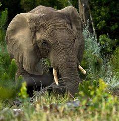 Knysna_Elephant_-_Hylton_Herd_SANParks_smaller.jpg 849×866 pixels