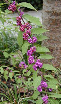 Callicarpa Bodinieri / Beautyberry