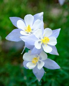 Columbines (photo by Benjamin Glatt)  will reseed and return following season under right conditions.  #flowers