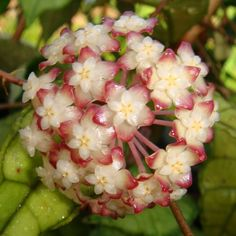 Hoya sp. Nong Nooch Cutting IML 1541 [1541x] - $10.00 : Buy Hoya Plants Online in Many Species from SRQ Hoyas Today!