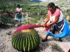 "peoriarhetoriapeoria: ""artssake: "" Carding Wool "" Otomi women with barrel cactus in Mexico carding dyed wool into roving. """