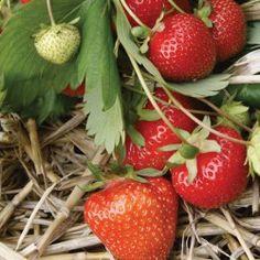 Strawberry Plants - Christine x10