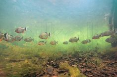 This is a freshwater underwater photograph of wild Black Spot Piranhas, Pygocentrus cariba, schooling in their natural habitat, Apure, Venezuela.