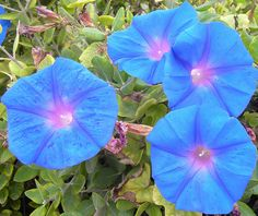 Bouquet Of Morning Glories!