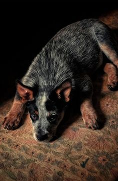 My dog is a blue heeler mix but his color is similar and gorgeous