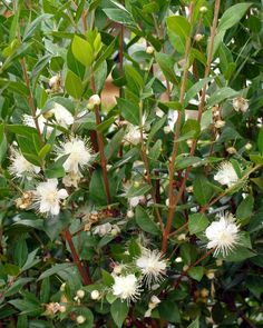 Spring flowers, move over. Theseastounding shrubs can get any gardener through the summer doldrums. Evergreen Shrubs, Deciduous Trees, Trees And Shrubs, Flowering Shrubs For Shade, Shade Shrubs, Common Garden Plants, Bog Plants, Dwarf Shrubs, Hydrangea Quercifolia