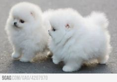 Cuddly and cute white poms! This breed has a heart as soft and full as their fluffy fur coat.