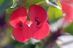 Crown of Thorns Care Tips Perrenial Flowers, Crown Of Thorns Plant, Euphorbia Milii, Balcony Garden, Flower Beds, Houseplants, Gardening Tips, Succulents, Crafty