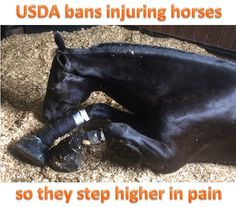 The USDA banned stacks, chains and other medieval devices to injure horses' feet and legs to exaggerate their natural gait. The rule also eliminates the corrupt inspection program that put the very people abusing horses in charge of enforcing the law.