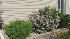 mini lilac bush-so fragrant1