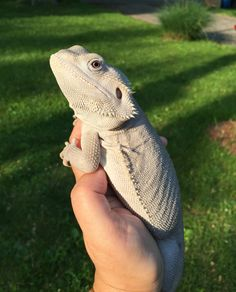 Cute Baby Animals, Animals And Pets, Funny Animals, Cute Reptiles, Reptiles And Amphibians, Beautiful Creatures, Animals Beautiful, Cute Lizard, Bearded Dragon Cute