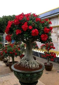 This Exotic Bonsai Has 2 Peculiarities: First, Look at the Intrincate Roots and Now Observe The Blooming Little Groups of Blood Red Flowers. Plantas Bonsai, Ikebana, Beautiful Gardens, Beautiful Flowers, Simply Beautiful, Miniature Trees, Bonsai Garden, Desert Rose, Small Trees