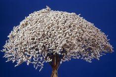 Dandelion, Flowers, Plant, Dandelions, Royal Icing Flowers, Flower, Florals, Bloemen, Blossoms