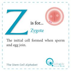 """""""Z"""" is for Zygote. The initial cell formed when sperm and egg join. www.Cells4Life.co.uk"""