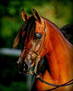 JT Gazselle (US) 2010 Bay Arabian mare. PA Gazsi {Gazal Al Shaqab x Memphis NA by Fame VF} x CNF Magneeya BA {Magneeto WLF x Bint Haniya BA by Shaikh Al Badi} Bred by Jennifer Wilson & Jamie Tonge. Owned by Pannonia Arabians, MD.