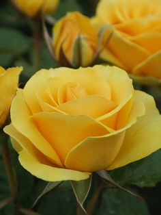 'Golden Gift' | Hybrid Tea Rose. Bred by Rob Somerfield (New Zealand, 2005)