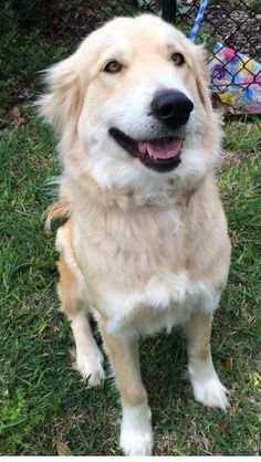This is Elsa a 3 yr old Golden mix. She is spayed, current on vaccinations, potty trained, has good house manners, knows a few commands, walks well on leash - but does not like meeting other dogs on leash, good with kids. She needs to be the only dog in the house and needs a privacy fence around the yard. She does not like to be crated. Golden Retriever Rescue Alliance, TX. https://www.petfinder.com/petdetail/29129958/