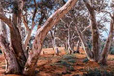 Portrait of the Australian outback River red gums on the dry river bed of an overflow creek in the Umberumberka Reservoir, Silverton, NSW Tree Photography, Landscape Photography, Beautiful Nature Photography, South Wales, Outback Australia, Australia Landscape, Parks, Australian Photography, Dry River