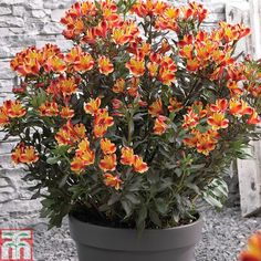 Alstroemeria 'Indian Summer' plug plants from Thompson & Morgan - experts in the garden since 1855 Hardy Perennials, Hardy Plants, Flowers Perennials, Planting Flowers, Summer Plants, Summer Flowers, Summer Bulbs, Flowering Plants In India, Alstroemeria Plants