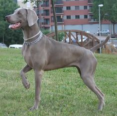 Weimaraner. They are members of the sporting group. They are great hunting dogs and companions. They stand at 23-27 inches at the shoulder and weigh about 55-90 pounds.