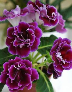 Double gloxinia. Part of God's grandeur is that He Who created the universe also took time to work out the beautiful details of little things.