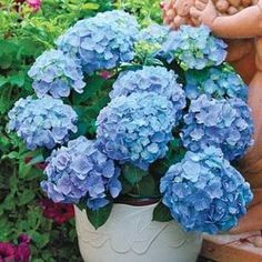Bonsai Hydrangea flores perennial flower plantas for wedding party plant for home and garden 17 colors Container Gardening, Gardening Tips, Organic Gardening, Plantation, Dream Garden, Lawn And Garden, Garden Table, Garden Plants, Patio Plants